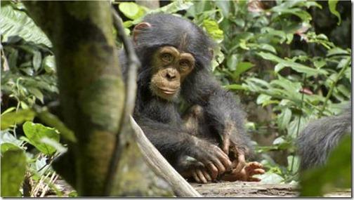 Oscar Chimpanzee
