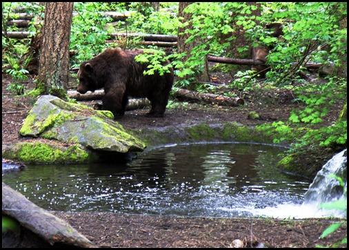 The Bear At Nothwest Trek