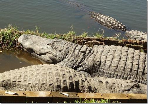 Sun Bathing gators