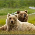 Disneynature's Bears in Theaters April 18, 2014
