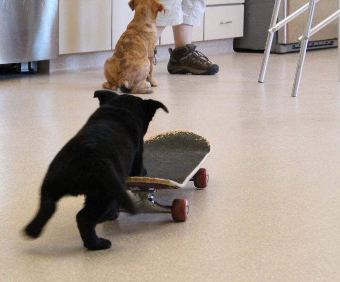 Skateboarding puppy