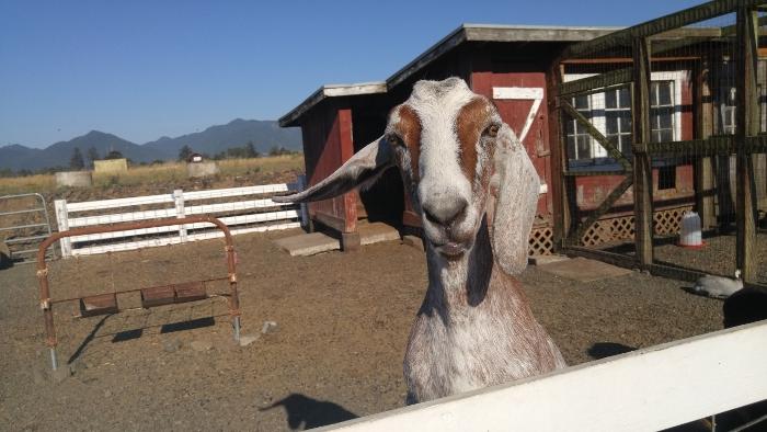 "Goat says ""Hi""!"