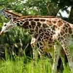 Photography: Necking Giraffes