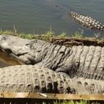 Nature Photography: Sun Bathing Gator Style