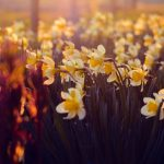 Seattle's 21st Annual Daffodil Day