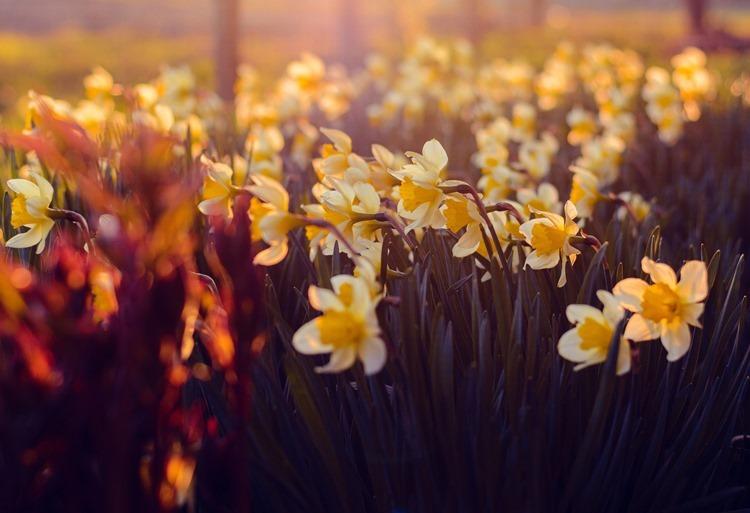 daffodils by Irina Kostenich @ Pexels