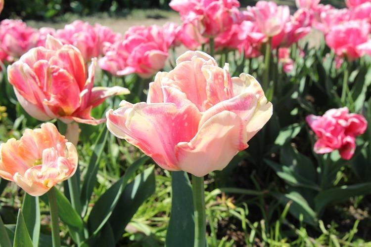 fluffly tulips