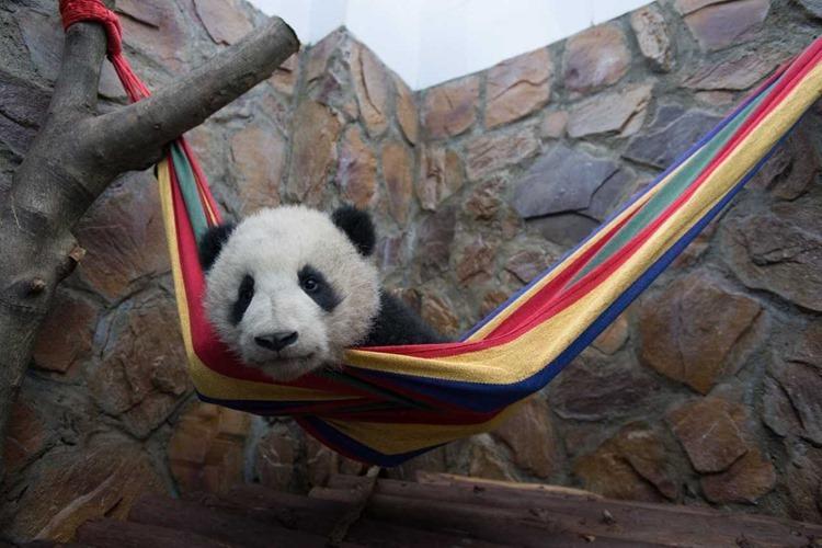 Pandas Image 5